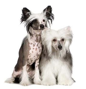 Стрижка китайской хохлатой пуховки, груминг собаки