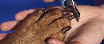 Как подстричь когти собаке: алгоритм действий, основные рекомендации для процедуры и приучения к ней, что делать при травмах 3