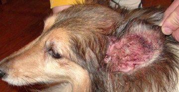 средний отит у собак симптомы и лечение