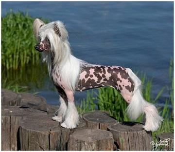 Порода собак хохлатая