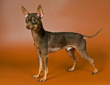 Порода собак гладкошерстный русский той-терьер и ее характеристики с фото