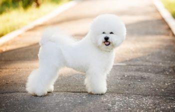 Бишон порода собак