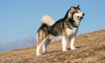 Маламут порода собак