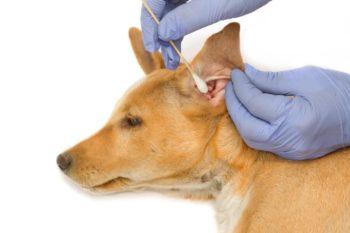 Правильно чистим грязные уши у щенка
