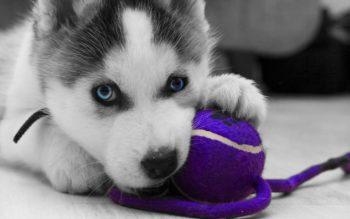 siberian-husky-siberian-dog-3069-1-e1518986947279 Щенок хаски